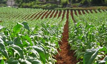 Tobacco_plants_5