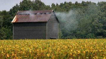 essicazione_tabacco